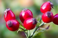 BIO Sproszkowane owoce dzikiej róży 500 g