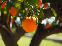 Olejek eteryczny pomarańczowy 30 ml